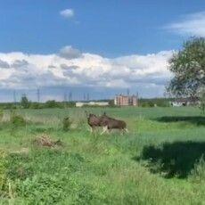Біля Луцька помітили двох лосів (Відео)