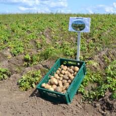 Білоруси вивчають досвід волинських картоплярів