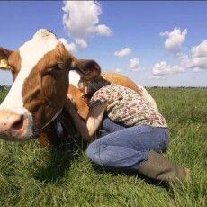 З'явився новий тренд – обійми з коровами для зняття стресу (Відео)