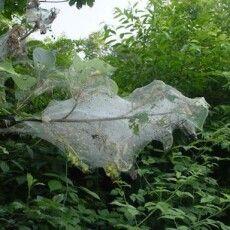 Знищуйте, якщо знайдете: в Шацьку виявлено особливо небезпечного шкідника