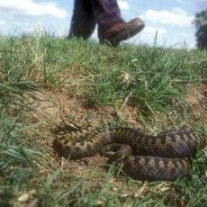 Літньої пори активізувалися змії. Як розминутися без наслідків