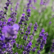 Рівненська сім'я вирощує гектар лаванди