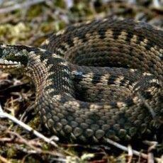 На Рівненщині чоловік потрапив до реанімації через укус змії