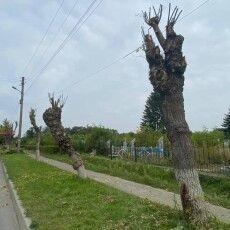 Через гусінь у Ковелі чикрижать усі гілки на деревах – залишається тільки стовбур (Фото)