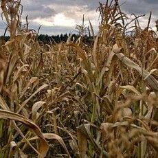На Волині бабуся заблукала в кукурудзяному полі