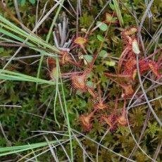І на Поліссі ростуть рослини, що поїдають комах