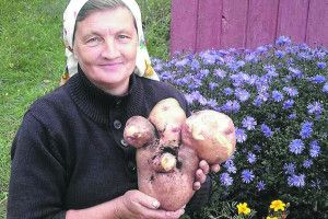 Найбільша в Україні  картоплина  знову виросла на Волині