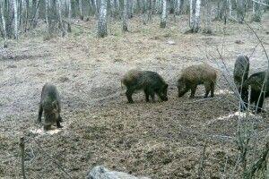 Камери у волинських лісах зафіксували сірих журавлів (Фото)