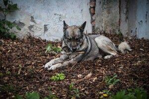 У Луцьку оголошено конкурс на кращого господаря для собаки-вовкулаки на прізвисько Доріан (Фото)