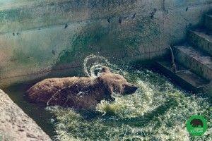 Ведмеді з Луцького зоопарку відкрили купальний сезон (фото)