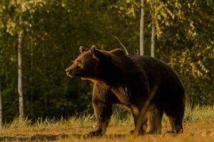 Принца Ліхтенштейну підозрюють в лютому браконьєрстві: буцімто, свідомо застрелив найбільшого в ЄС ведмедя