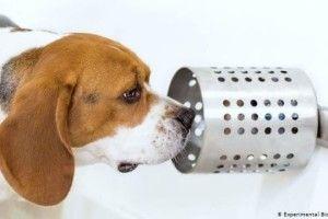 Собаки здатні «діагностувати» рак легенів у людини