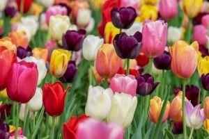На Буковині висадили тюльпанові поля