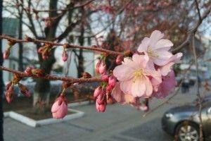 На Закарпатті зацвіла «шалена» сакура