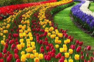 Жителі Басівкутської вимагають від Рівненської міськради тюльпанів, троянд і чорнобривців