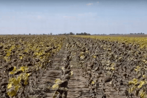 Скоїв самогубство 66-річний фермер, який втратив увесь врожай через посуху