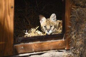 Як живеться у Луцькому зоопарку «кішкам», яких привезли з львівського «Лімпопо»