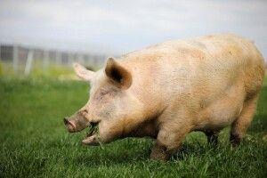 На території Тернопільської та Чернівецької областей виявили нові випадки африканської чуми свиней
