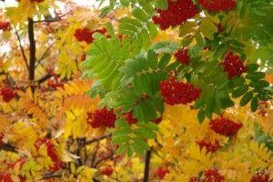Погода на четвер, 23 вересня: горобина розкаже волинянам, якими будуть осінь та зима