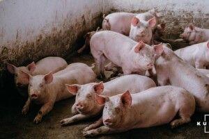 Селяни судяться з власниками свиноферми, звинувачуючи їх у свинстві