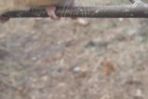 Волинянка натрапила в лісі на рідкісного звіра(Фото)
