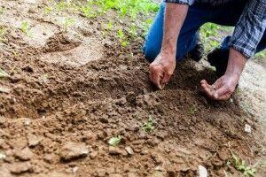 Чому не хочуть рости картопля, цибуля, буряки і кавуни