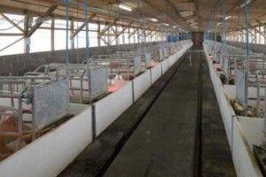 Через африканську чуму на Львівщині забили 102 тисячі свиней
