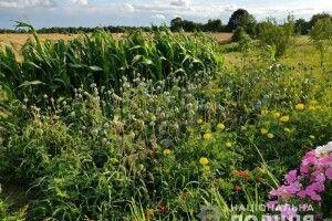 Жителі Рівненщини продовжують вирощувати наркотичне зілля (фото)