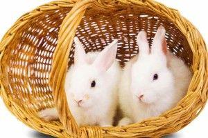 Спарювання кроликів: в'язку вуханів проводять тільки в клітці кроля