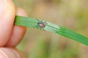 Жителів Камінь-Каширщини попереджають про небезпечні наслідки від укусу кліщів