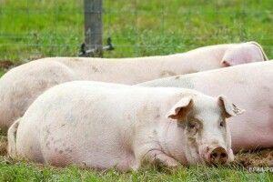 У Китаї фермер виростив свиню розміром з ведмедя