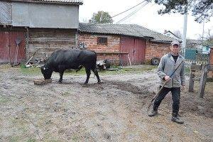 Годівельник найбільших биків