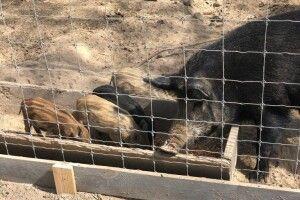 «У нас є всі умови, щоб свині залишалися дикими». У Губинському лісництві вирощують парнокопитних (Відео)