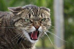 Скажений кіт у Нуйно напав на господиню