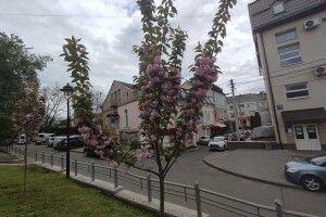 А ви бачили, як у Луцьку цвітуть японські вишні з Рівного?