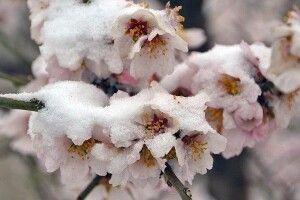 В Іспанії заморозки знищили врожай персиків, абрикосів та нектаринів