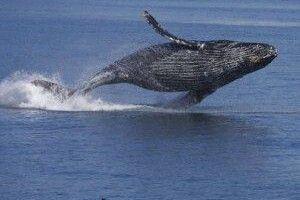 А ви чули, як співає закоханий кит? (Аудіо)