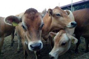 Маєш три корови—одержуй дотацію