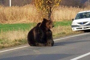 У Румунії бурих ведмедів стільки, що виходять на дороги й нападають на людей