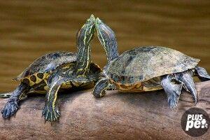 Цієї неділі у Рівному наввипередки ганятимуть черепахи