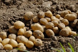 На городі волинянина крадій накопав молодої картоплі