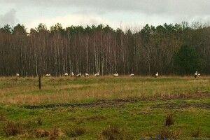 У Маневичах «приземлилися» відразу 20 лелек