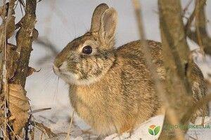 Погризене зайцями дерево можна відновити