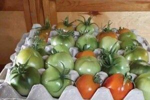 Як зберегти помідори дозими