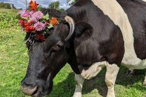 Ранкова добірка: бабуся прикрасила квітами корову, художник пів року готував подарунок місту...
