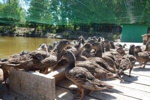 На Старовижівщині у вольєрі мешкає понад 200 голів диких качок (Фото)