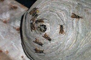 В Немовичах бійці ДСНС знищили кубло шершнів (фото)