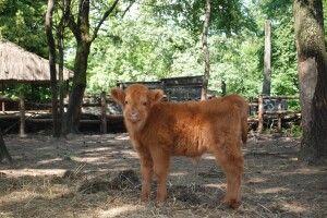 У Рівному кудлата корова народила кудлате теля (фото)