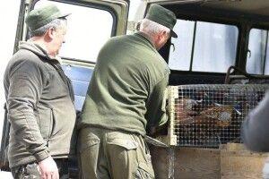 На Волині випустили на волю 80 фазанів