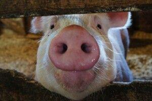Волинянину, який вигодовував свиней, підсунули «свиню» на 10 000 гривень